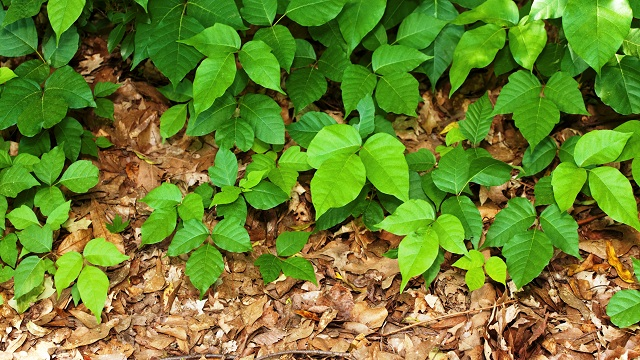 An itch in time: Alabama summers bring increased exposure to poisonous plants