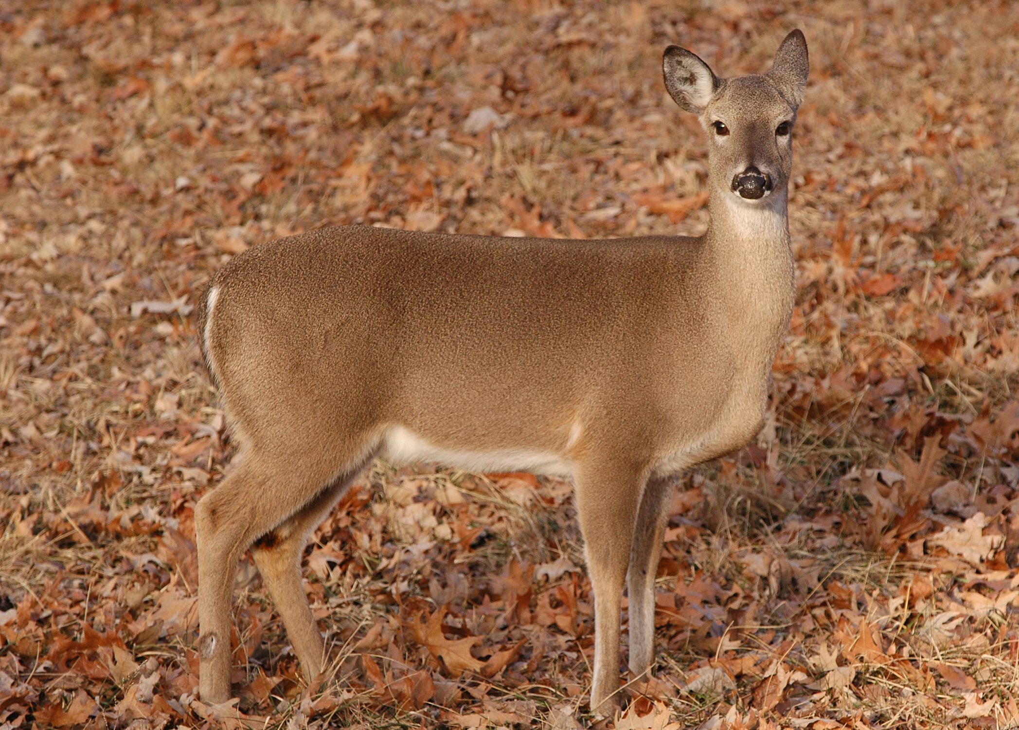 When is the best time for hunters to harvest does in Alabama?