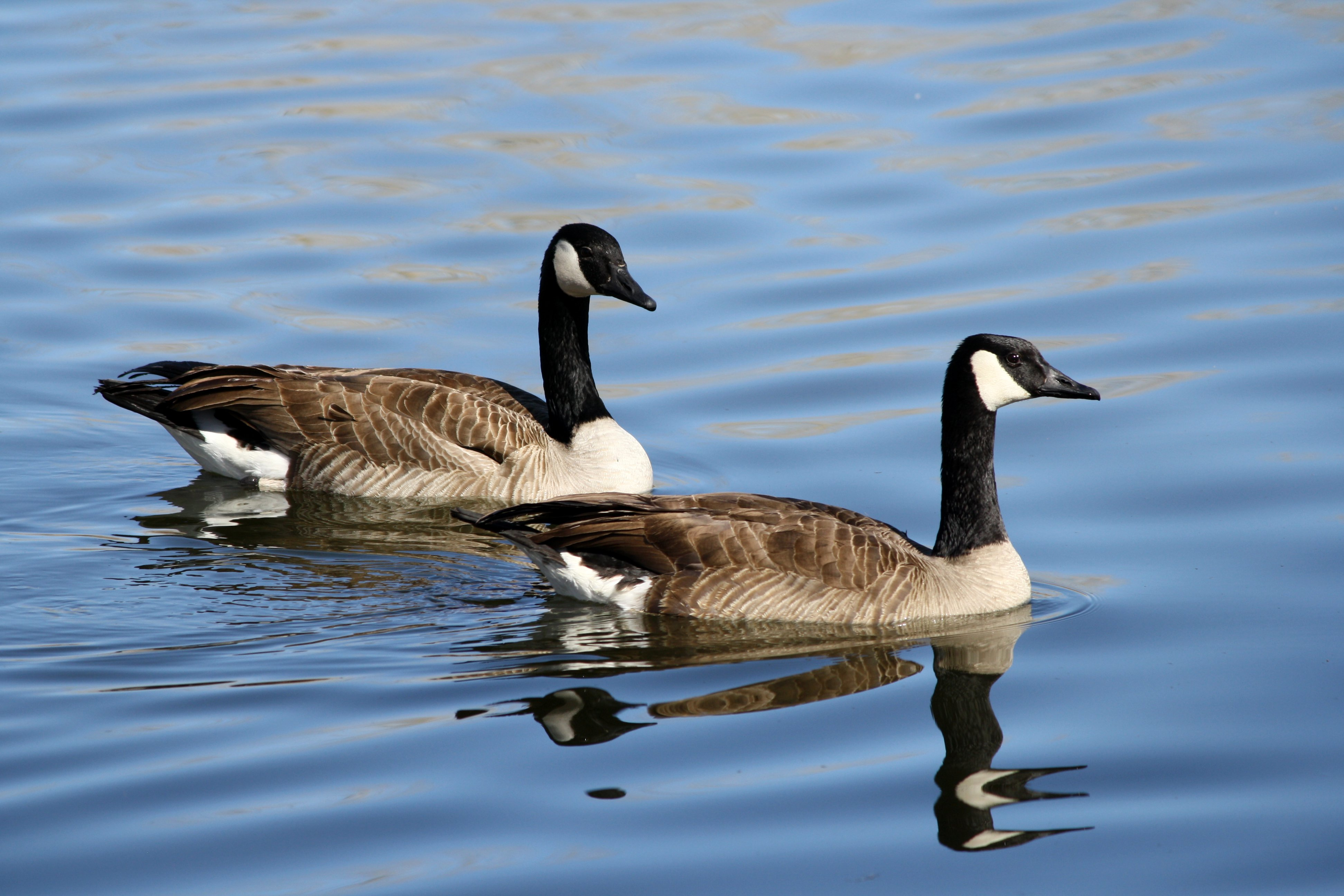 Citizens defend Cosby Lake geese to Clay Council