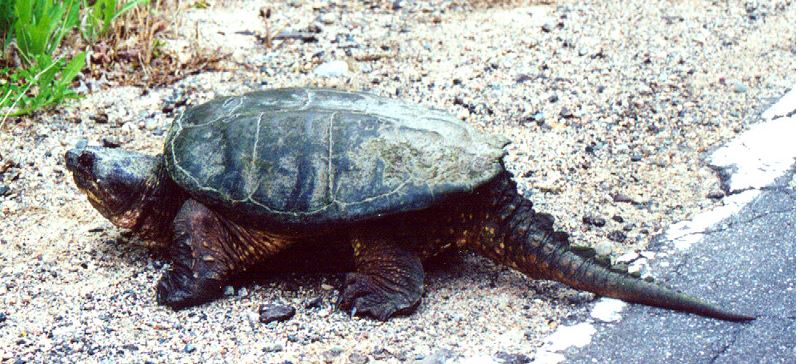 Idaho: Teacher acquitted after being accused of feeding live puppy to snapping turtle