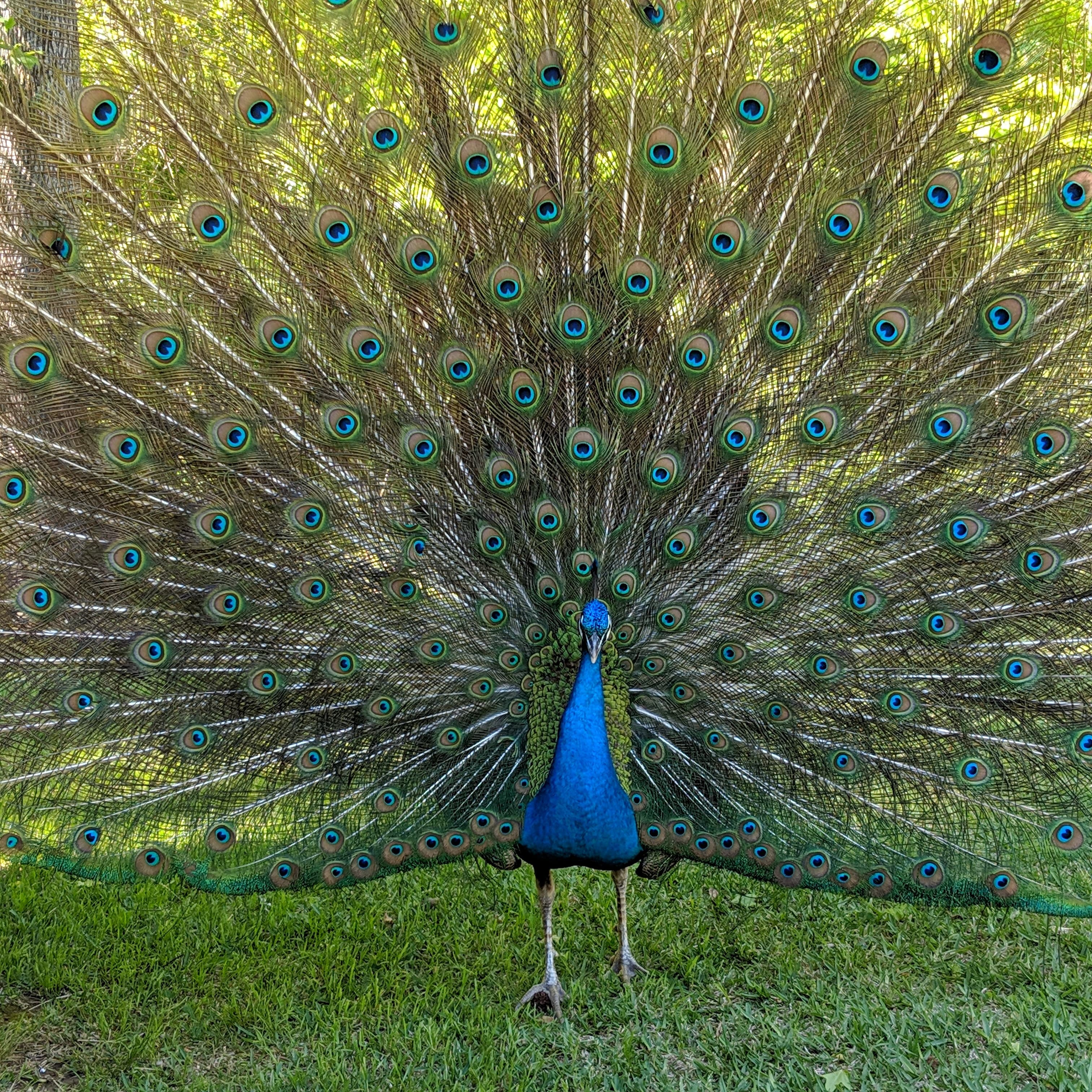 New Sighting Of Roaming Peacock Could There Be 2 The Trussville Tribune