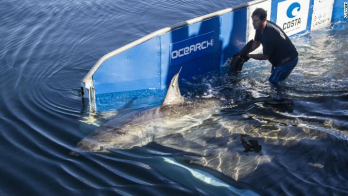 1,688 lbs. shark spotted in Gulf of Mexico