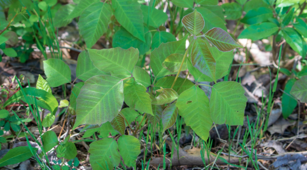 Beware of poison ivy this summer