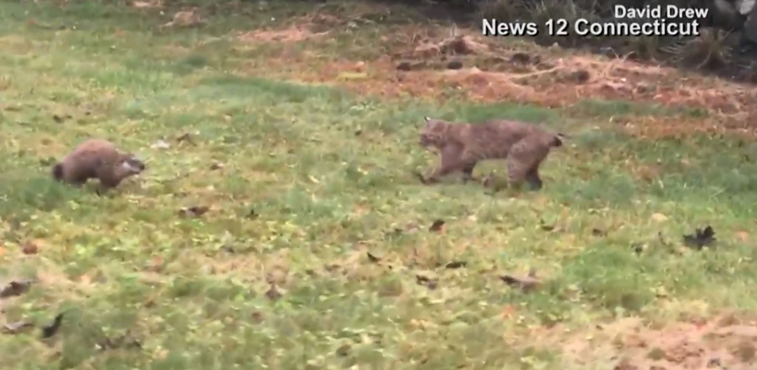 Groundhog vs. Bobcat caught on camera in Connecticut