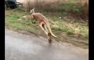 VIDEO: Search underway for missing kangaroo in Alabama
