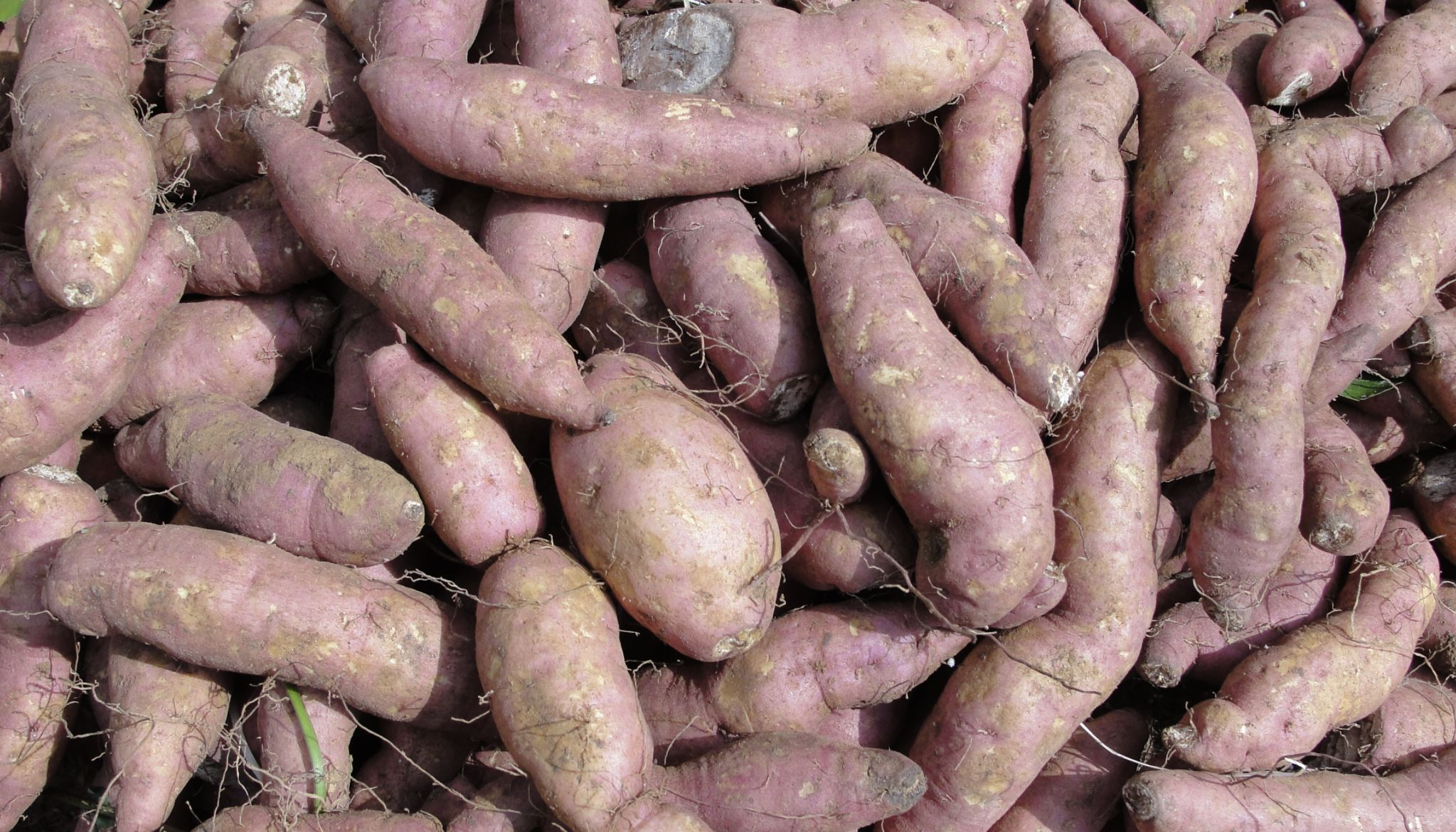 Sweet potato could be Alabama's official state vegetable