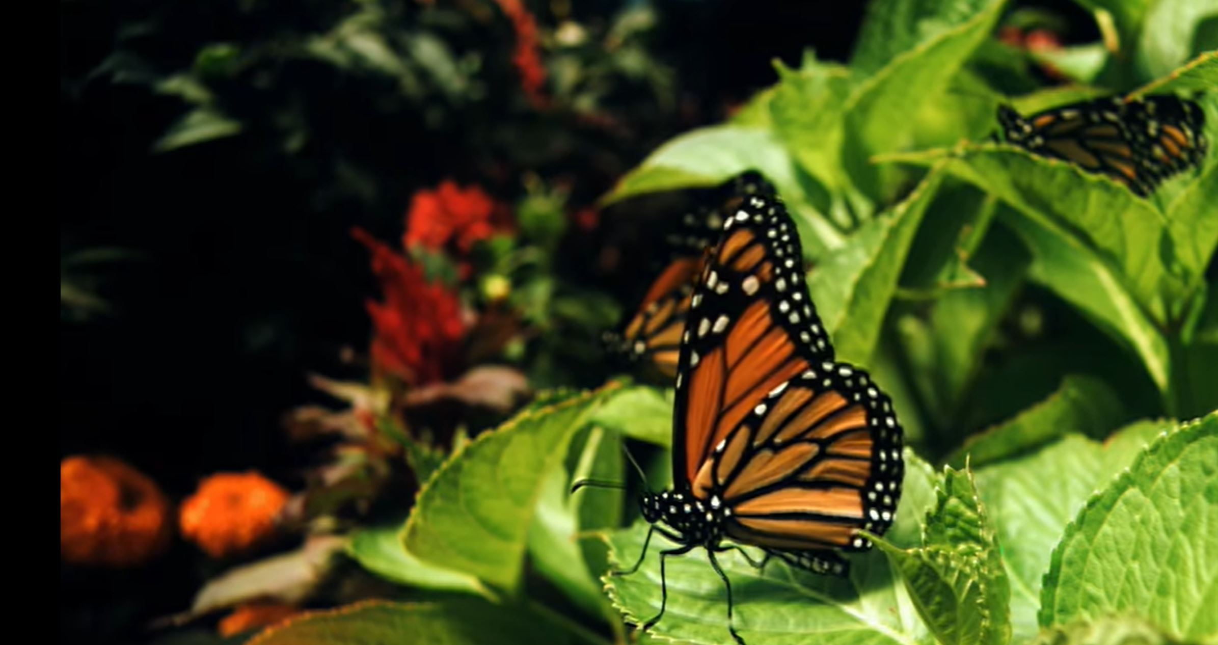 Butterfly release planned for ovarian cancer awareness