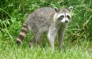 Raccoon in Cullman tests positive for rabies